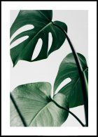 Monstera Leaves Poster